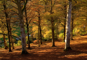 CASTLE HILL, DEVON: BEECH TREES IN THE WOODLAND IN EVENING SUNSHINE